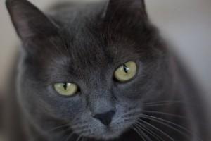 黄眼睛的猫咪
