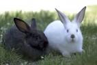 黑兔子和白兔子