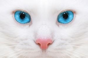 白色蓝眼睛猫咪