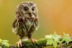 小小猫头鹰