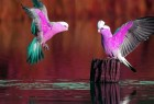 粉色的鹦鹉