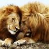 两个狮子的基情