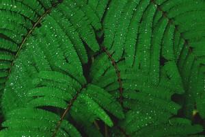 绿色的含羞草