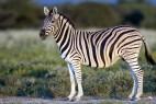 草原上的斑马