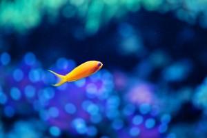 蓝眼睛的小黄鱼