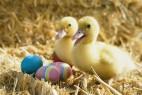 两只小黄鸭