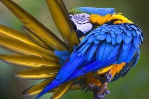 蓝色的鹦鹉