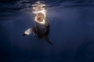 大鲨鱼喝水