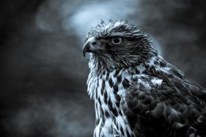 威武的雄鹰