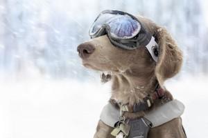滑雪的狗狗