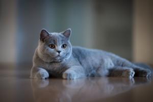 英短小猫咪