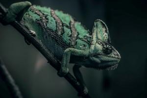 绿色的变色龙