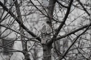 灰色的鸽子