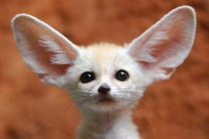 大耳朵狐狸
