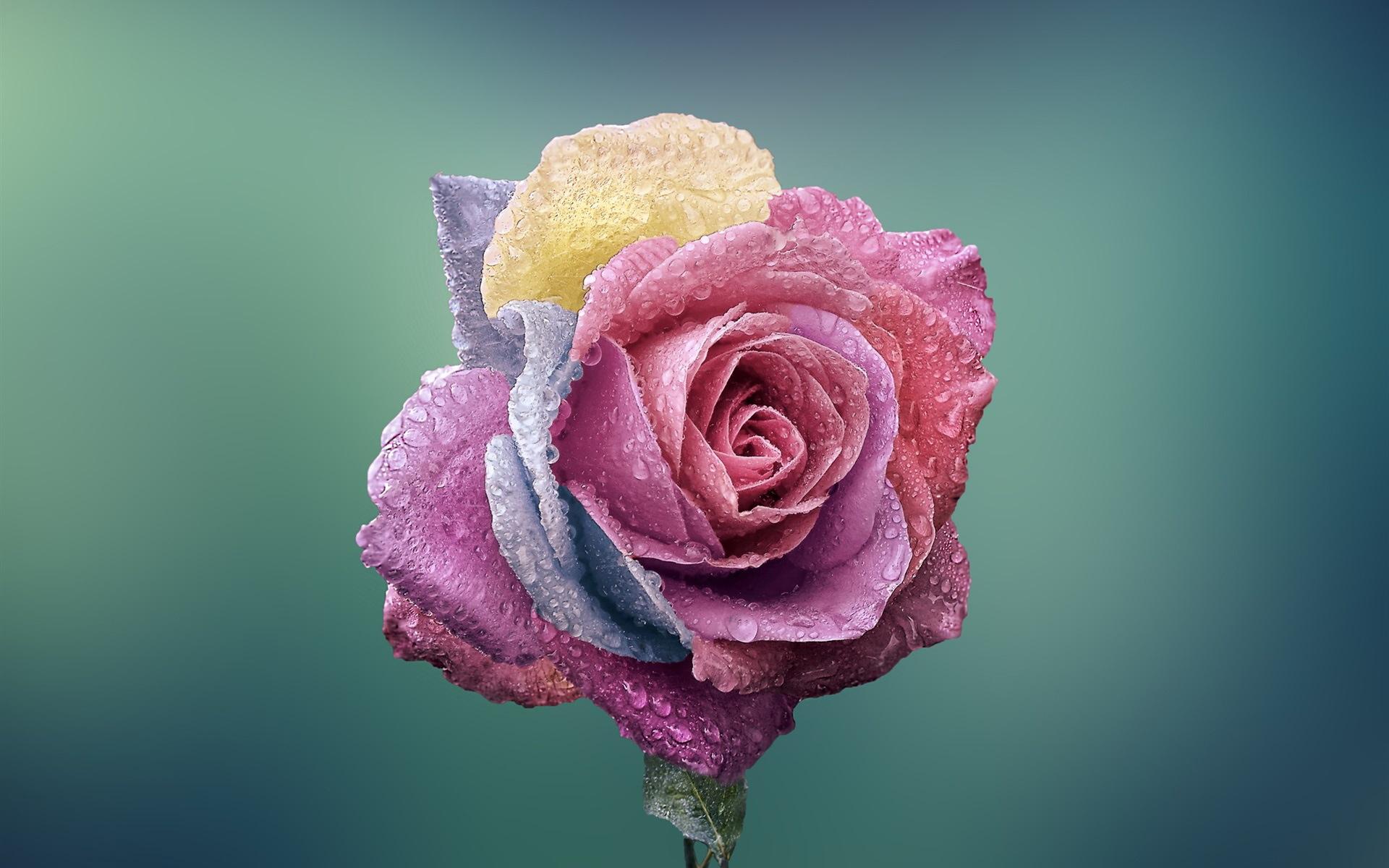 我是一朵玫瑰花